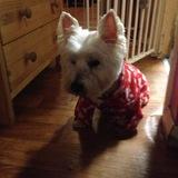 Skittles  (West Highland White Terrier)