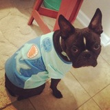 Beauregard (Boston Terrier)