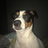 Kalle (Jack Russell Terrier)