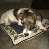Bine (Jack Russell Terrier)