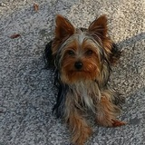 Cachito - Yorkshire Terrier