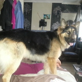 George (German Shepherd Dog)