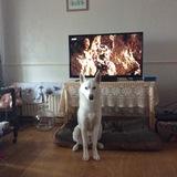 Ash (Siberian Husky)