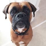 Zeus - Boxer