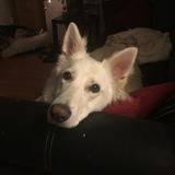 Eevee (German Shepherd Dog)