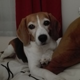 Lucy (Beagle)