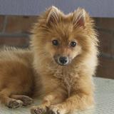 Foxy (Pomerania)