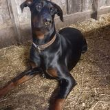 Monkey (Dobermann)