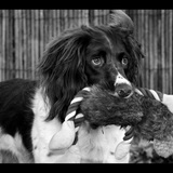 Bruno - English Springer Spaniel