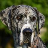 Luca (Deutsche Dogge)