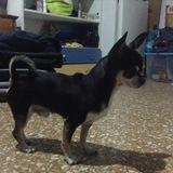 Lupin (Chihuahua)