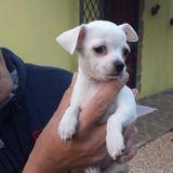 Lady (Chihuahua)