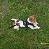 Paul (Jack Russell Terrier)