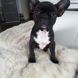 Lily (Französische Bulldogge)