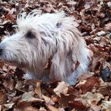 Limón - Fox Terrier