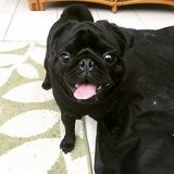 Hugo (Pug)