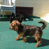 Kenny (Yorkshire Terrier)