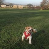 Pedro (Beagle)