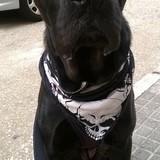 Ira (Perro Corso Italiano)