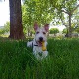 Milu (Fox Terrier De Pelo Duro)