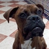 Junior - Boxer