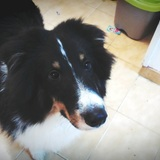 Rosti (Perro Pastor De Shetland)