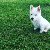 Toffee (West Highland White Terrier)