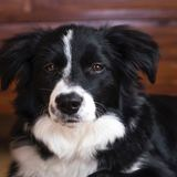 Kala (Border Collie)