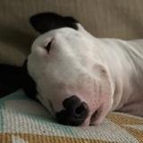 Mochi (Bull Terrier)