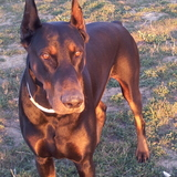 Roy (Dobermann)