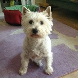 Grendon - West Highland White Terrier