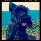 Summer (Scottish Terrier)