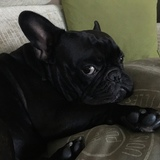 Terak - Bulldog Francés