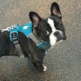 Henry  (French Bulldog)