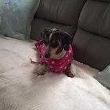 Minnie (Dachshund)