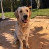 Simba - Golden Retriever