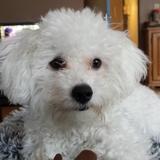 Lilly (Bichon Frisé)