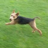 Pia (Welsh Terrier)