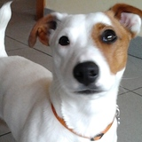 ONA - Jack Russell Terrier