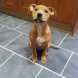 Ted (Staffordshire Bull Terrier)