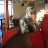 Urki (Perro sin pelo del Perú)