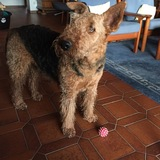 Charly (Airedale Terrier)