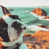 Stig  (Boston Terrier)