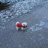 Snow (Maltese)