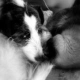 Coco (Fox Terrier De Pelo Duro)
