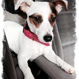 Kira (Jack Russell Terrier)