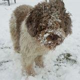Buddy (Perro de Agua Español)