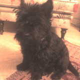 Goofy (Scottish Terrier)