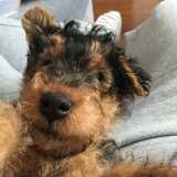 Darcy (Welsh Terrier)