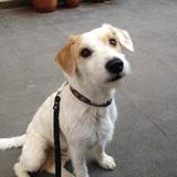 Boss (Parson Russell Terrier)